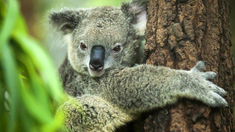 Koalalar neden ağaçlara sarılıyor?