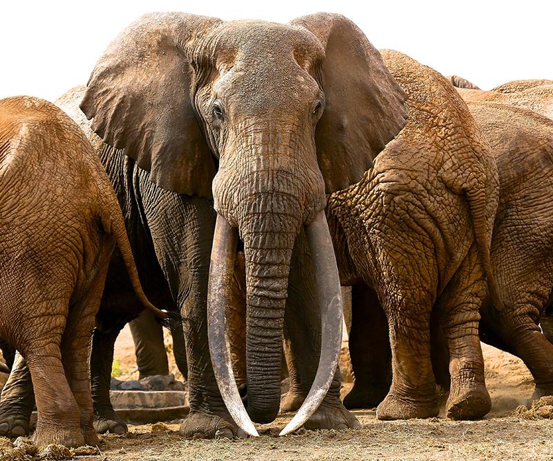 Uzun ömür, kansersiz yaşam ve filler: Aradaki bağlantıyı bulun